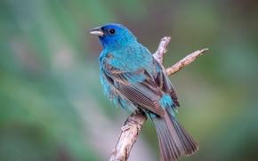 Картинка птица, ветка, птаха, индиговый овсянковый кардинал