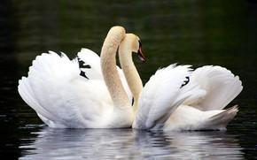 Картинка вода, любовь, птицы, озеро, пруд, темный фон, нежность, крылья, перья, пара, ласка, белые, влюбленные, лебеди, …