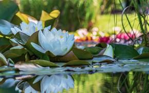 Картинка листья, вода, цветы, природа, отражение, кувшинки