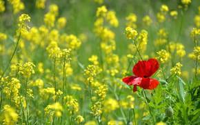 Картинка лето, цветы, красный, мак, весна, желтые, рапс, рапсовое поле