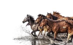 Картинка water, horses, herd