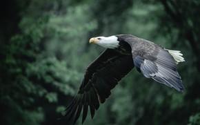 Картинка лес, деревья, полет, природа, темный фон, птица, хищная, боке, летящий, белоголовый орлан, размах крыльев