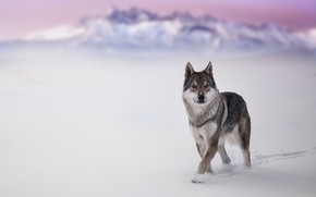 Картинка зима, снег, волк, собака