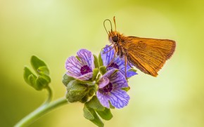 Картинка цветок, бабочка, толстоголовка актеон
