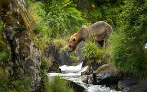 Обои река, медведь, бурый