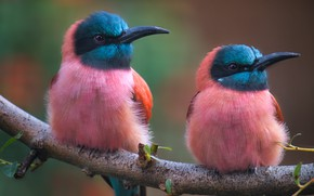 Картинка птицы, две, ветка, колибри, розовые, парочка, дуэт, яркое оперение, синеголовые