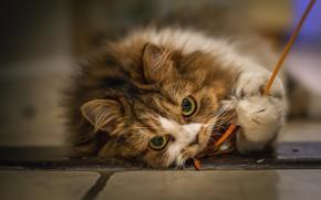 Картинка кошка, взгляд, поза, лежит