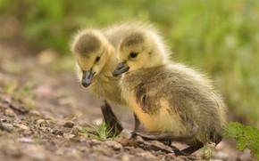 Картинка птицы, желтые, парочка, утята, утёнок, птенец, два, птенцы, утенок, два птенца, два утёнка