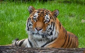 Картинка трава, взгляд, морда, тигр, портрет, бревно