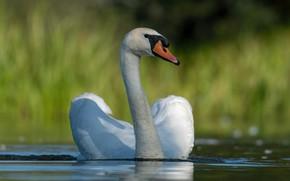 Картинка белый, вода, фон, птица, лебедь, водоем, плавание, красавец, боке