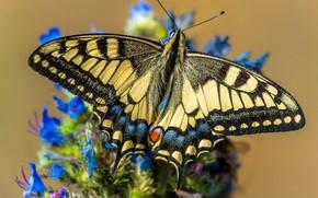 Картинка макро, цветы, бабочка, желтая, махаон