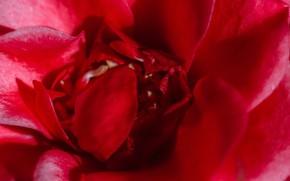 Картинка цветок, солнце, природа, роза, лепестки