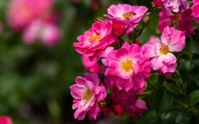 Картинка листья, цветы, розы, сад, розовые, размытый фон, розочки, розовый куст
