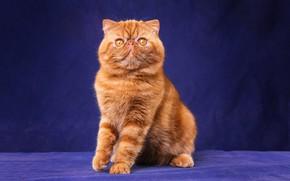 Картинка кошка, кот, взгляд, морда, поза, котенок, лапки, рыжий, перс, милый, котёнок, сидит, полосатый, лапочка, желтые …