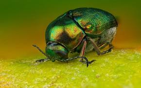 Картинка макро, зеленый, фон, листок, жук, толстый, блестящий, наскомое