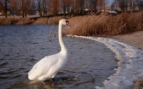 Картинка взгляд, озеро, лебедь, шея