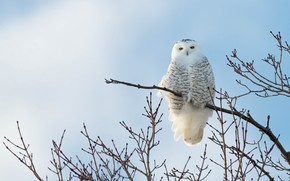 Картинка небо, ветки, дерево, сова, птица, голубой фон, полярная