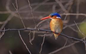 Картинка фон, птичка, веточки, зимородок