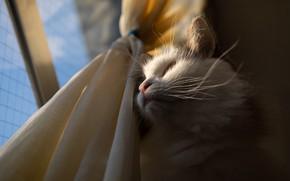 Картинка кошка, белый, кот, усы, взгляд, морда, свет, пушистый, окно, шторы, ракурс, наблюдатель