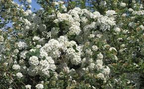 Картинка цветы, куст, белые цветы, весна 2018, Mamala ©