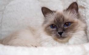 Картинка кошка, кот, взгляд, морда, портрет, лежит, мех, голубые глаза, светлый фон, рэгдолл