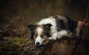 Картинка природа, темный фон, дерево, собака, лежит, бревно, пятнистая