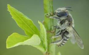 Картинка фон, оса, листик, насекомое
