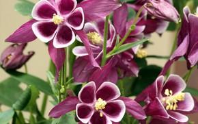 Картинка макро, цветы, розовые цветы, Аквилегия, водосбор