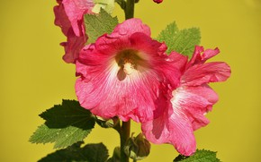 Картинка фото, Цветы, Розовый, Мальва