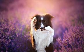 Картинка поза, взгляд, портрет, цветы, собака, сиреневый фон, стойка, лавандовое поле, черно-белая, морда, лаванда, поле, бордер-колли, …