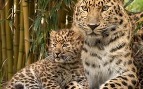 Картинка портрет, леопард, детёныш, котёнок, дикая кошка