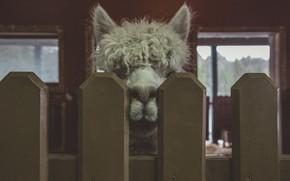 Картинка животное, забор, лама