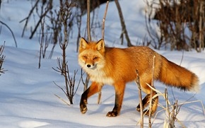 Картинка зима, взгляд, свет, снег, ветки, природа, поза, лиса, сугробы, рыжая, мордашка, лисица, кустарники, лапка