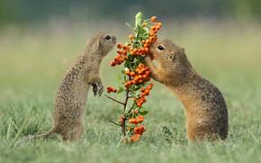 Обои трава, взгляд, поза, ягоды, поляна, лапки, ветка, зверьки, плоды, пара, парочка, дуэт, лужайка, два, суслики, ...