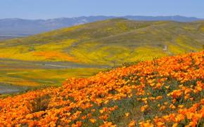 Картинка небо, цветы, горы, холмы, поляна, яркие, склоны, Калифорния, США, оранжевые, цветение, много, эшшольция