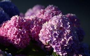 Картинка свет, цветы, темный фон, фон, лепестки, розовые, цветение, много, соцветия, гортензия