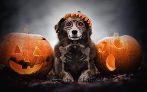 Обои осень, взгляд, морда, фон, праздник, череп, собака, кости, скелет, тыквы, лежит, хеллоуин, рожи, грим, светильник ...