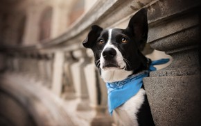 Картинка взгляд, морда, собака, бандана, платок