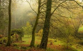 Картинка зелень, осень, лес, листья, деревья, ветки, природа, туман, заросли, стволы, поляна, листва, желтая, плющ, лиана, …