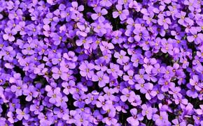 Картинка цветы, лепестки, обриета
