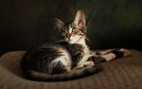 Картинка кошка, взгляд, поза, темный фон, котенок, мордочка, лежит, пятнистый, лежанка, фотостудия