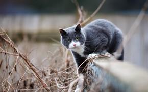 Обои кошка, кот, взгляд, морда, поза, серый, фон, забор, прогулка, дымчатый, лоза