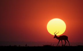 Картинка Солнце, саванна, sun, savannah, антилопа, antelope, Renee Doyle