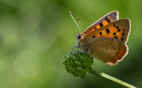 Картинка макро, фон, бабочка, стебелек