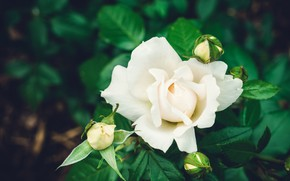 Картинка роза, куст, белая