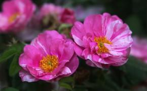 Картинка макро, яркие, розы