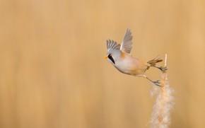 Картинка фон, птица, Усатая синица