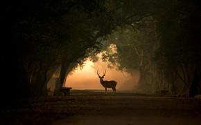 Картинка парк, олень, Индия, силуэт, рога, аллея, аксис, Кеоладео
