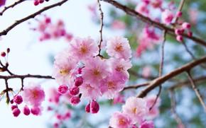 Картинка ветки, вишня, сакура, цветение, цветки, боке, бутончики