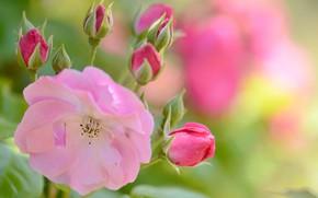 Картинка цветок, розовая, нежность, роза